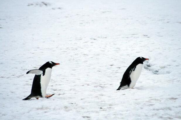 よちよちジェンツーペンギン