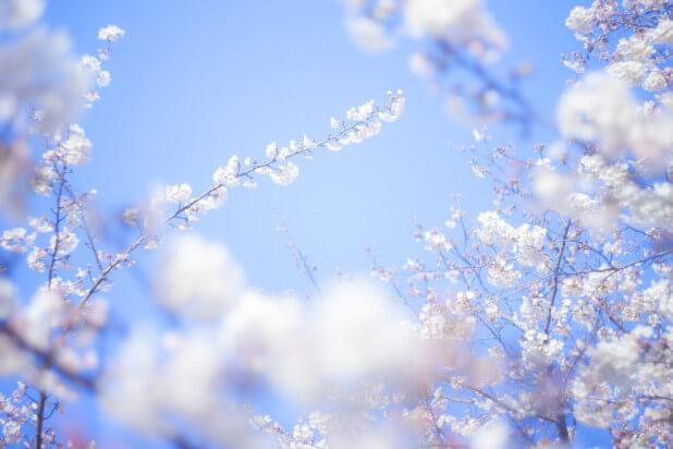 桜-旅立ち