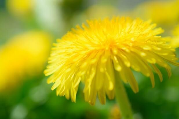フワフワたんぽぽの花びら